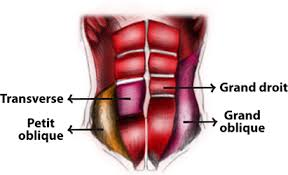 Anatomie muscles abdominaux